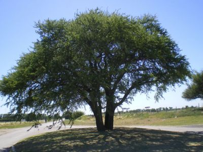 Caldén (Prosopis caldenia)