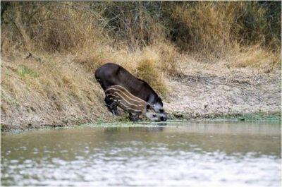 tapires