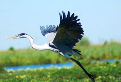aves corrientes