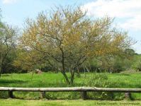 Espinillo (Acacia caven)