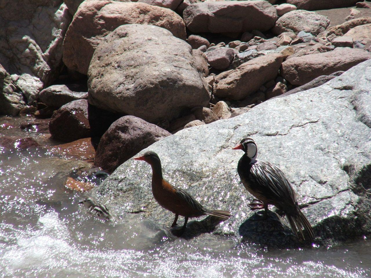 Fauna del Parque Provincial Aconcagua II el Pato de Torrente