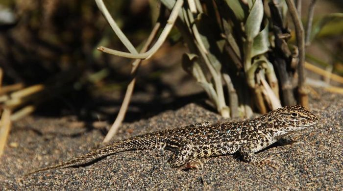 Rediscovery of a lizard in Argentina after decades of searching