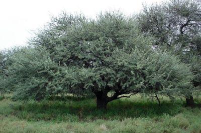 Calden (Prosopis caldenia)