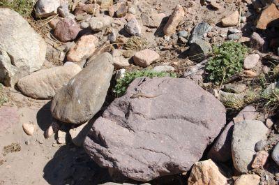 Lagartija del Aconcagua (Liolaemus fitzgeraldi)