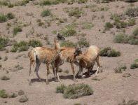 guanaco (Lama guanicoe) por Diego Ferrer
